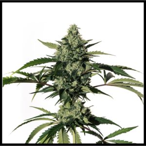 Cannabis seeds market - Buy/Sell plateforme