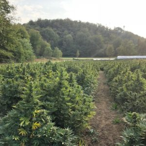 FEMINIZED CBD SEEDS  - Cannabis - Seeds - Italy