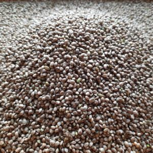 Finola hemp seeds for food and for oil 1.10 € / kg - Cannabis - Seeds - Poland