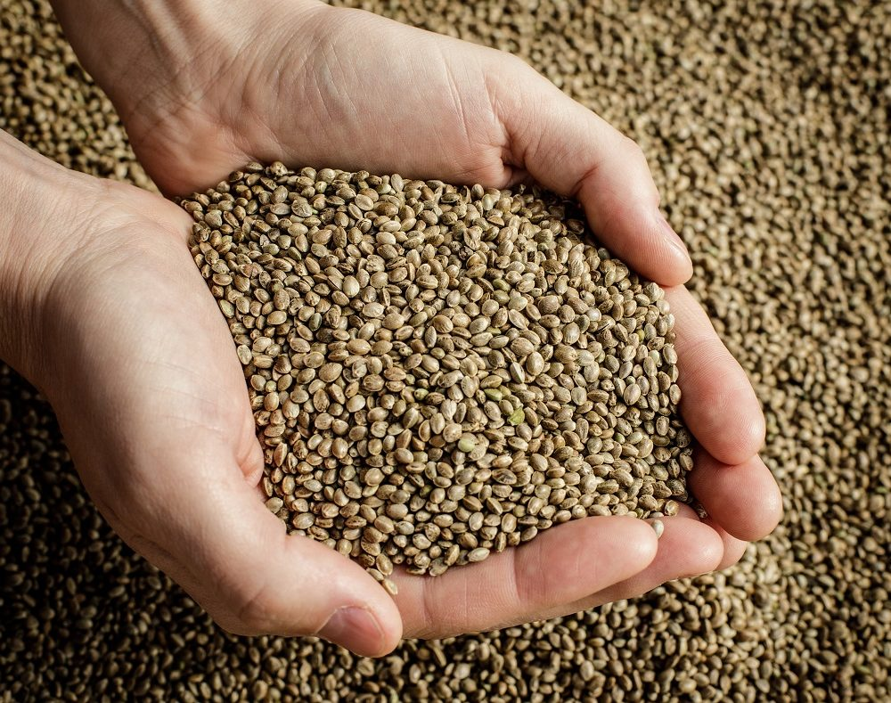 Futura 75 seeds from 2020 autumn for food industry - Cannabis - Seeds - Lithuaniaimage