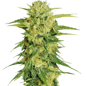 Fenopure - Cannabis - Seeds - Switzerland