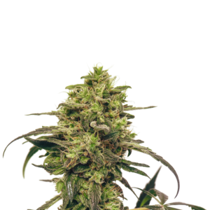 Fenocheese - Cannabis - Seeds - Switzerland