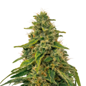 Fenomed - Cannabis - Seeds - Switzerland